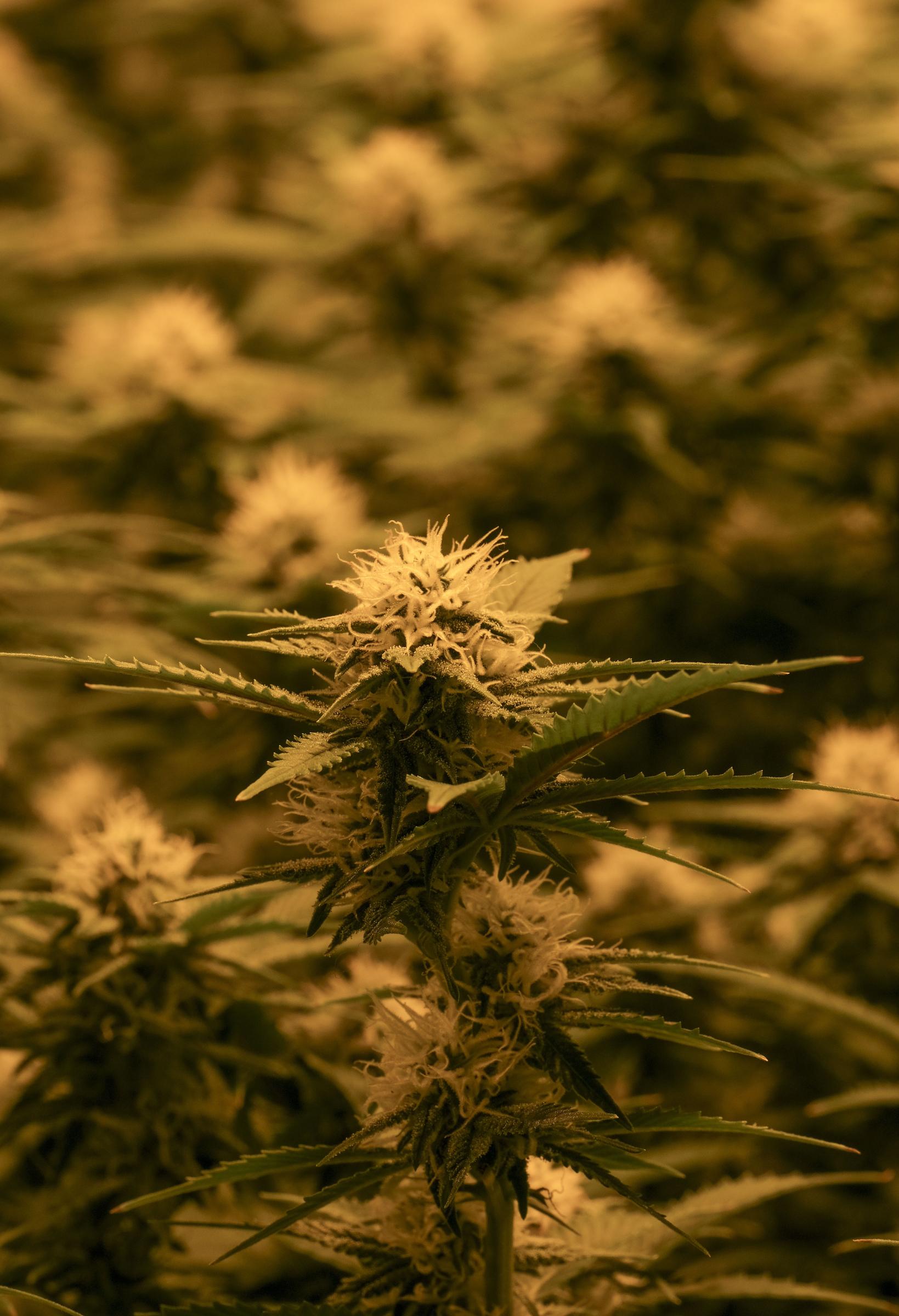 5 Cannabis Earth gift