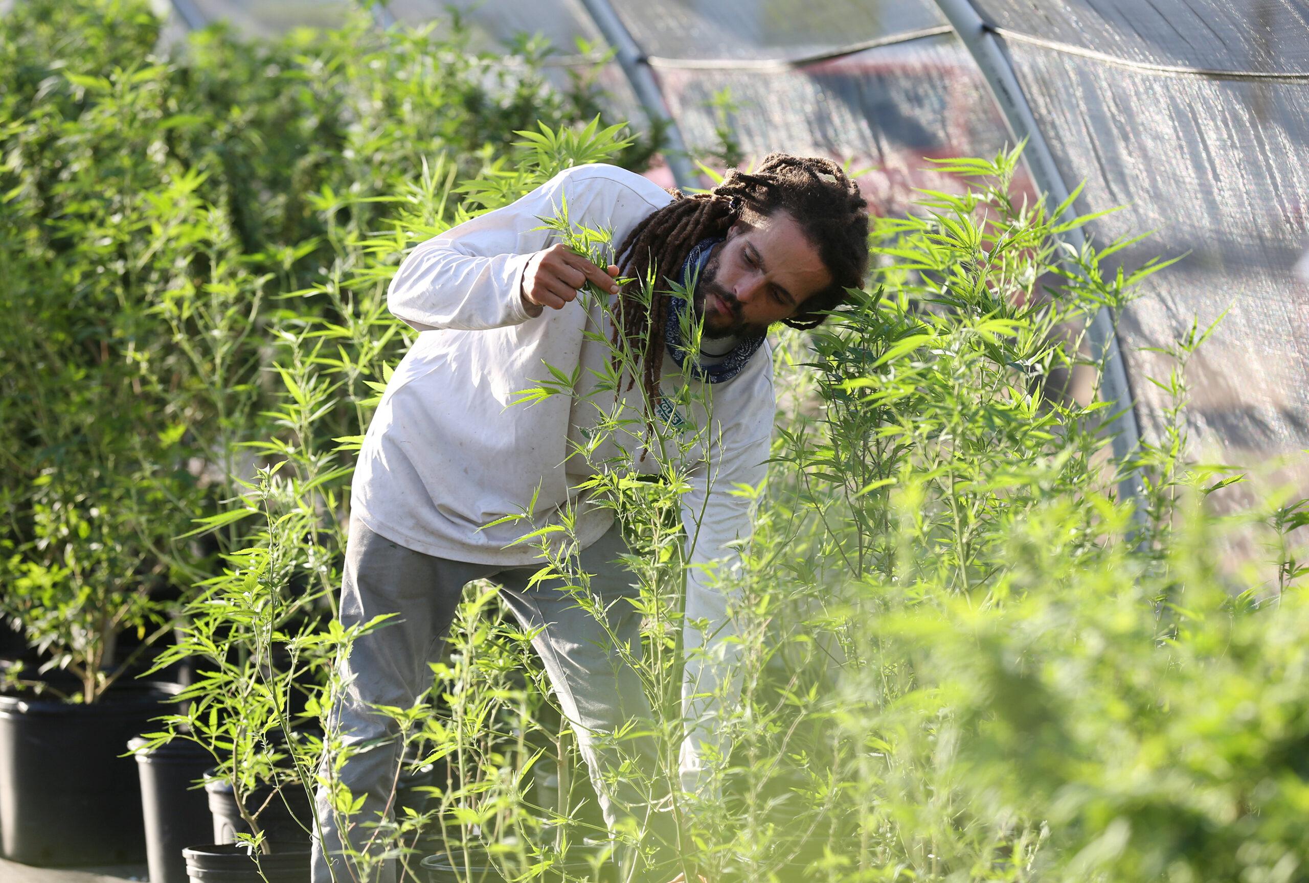 CARIBBEAN HEMP FARMS_JAMFOTOSPR_15