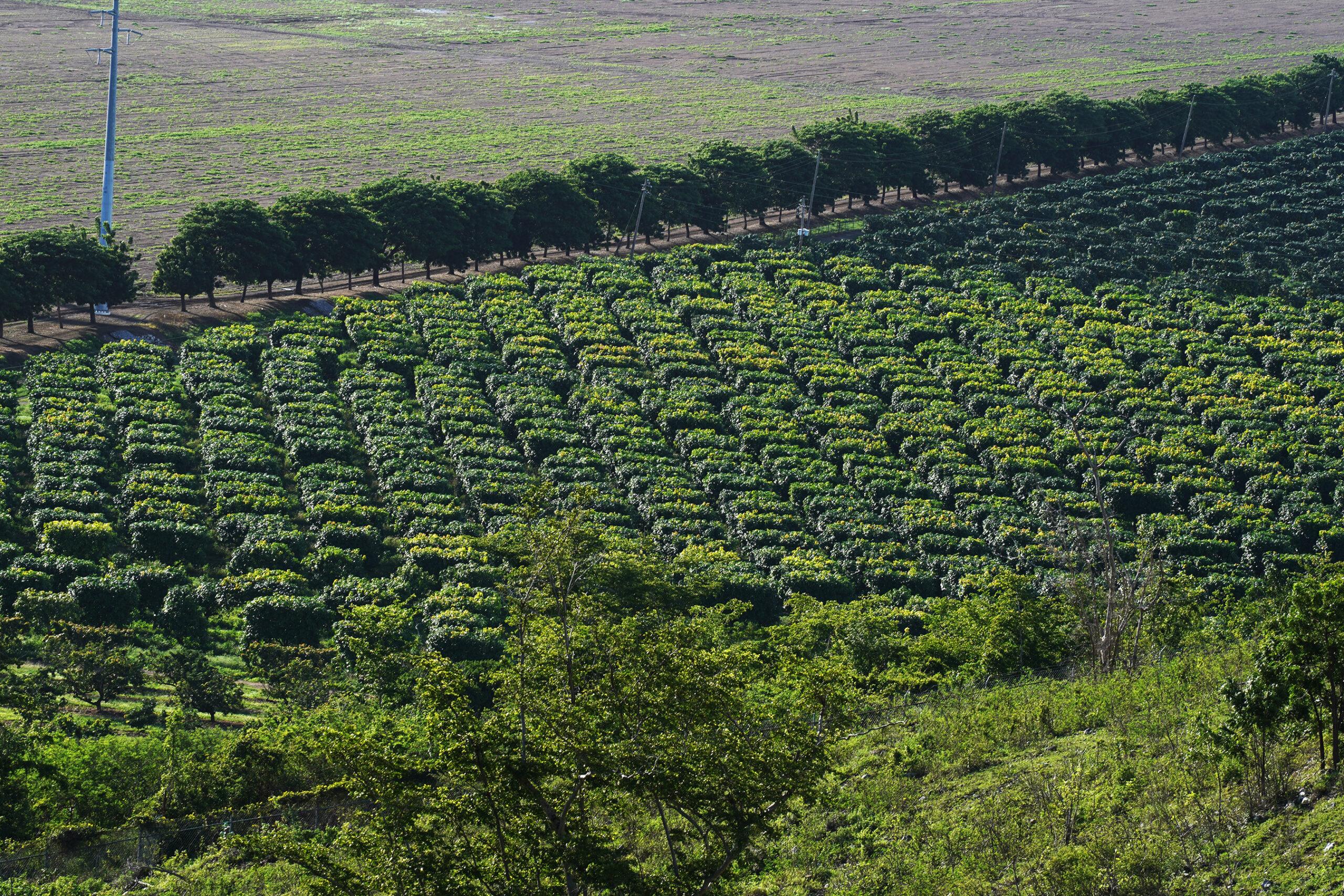 CARIBBEAN HEMP FARMS_JAMFOTOSPR_21